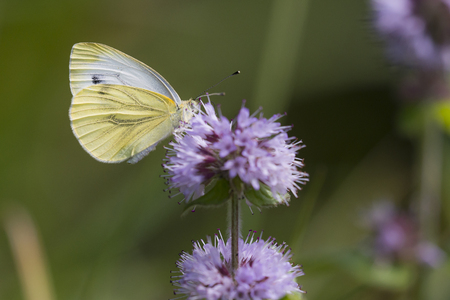 pieris: Green-veined White (Pieris napi) butterfly extracting nectar from Water Mint (Mentha aquatica)