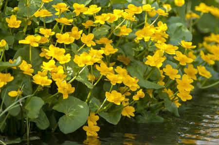 palustris: Group of Marsh Marigold (Caltha palustris) growing alongside a small Ditch