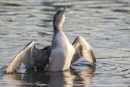 water wings: Great Northern Loon (Gavia immer) juvenile swimming in water and spreading wings Stock Photo