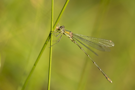 vegatation: Western Willow Spreadwing (Lestes viridis) perched on a Grass-Stalk