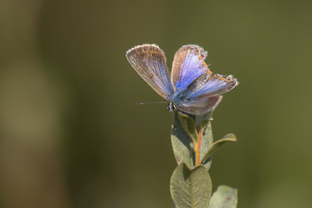 polyommatus icarus: Common Blue (Polyommatus icarus) butterfly, male, resting on top of a Shrub with open Wings