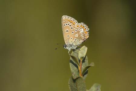 common blue: Common Blue (Polyommatus icarus) butterfly, male, resting on top of a Shrub with closed Wings
