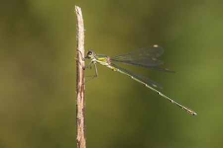 full willow: Western Willow Spreadwing (Lestes viridis) perched on a Grass-Stalk