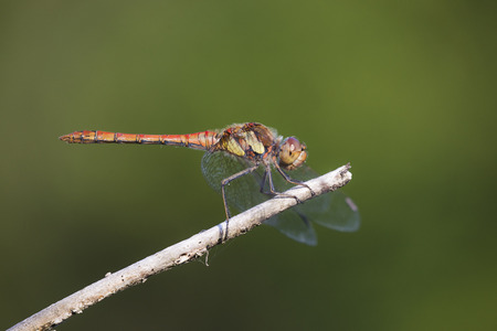 sympetrum: Common Darter (Sympetrum striolatum) male resting on a branch Stock Photo