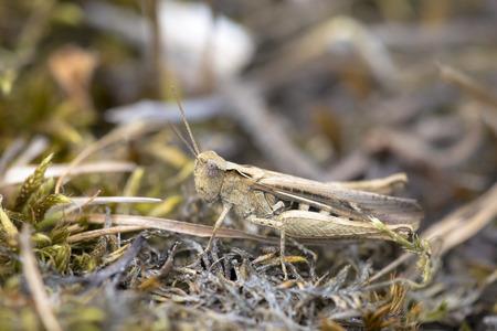 chorthippus: Common Field Grasshopper (Chorthippus brunneus) resting on the ground on moss