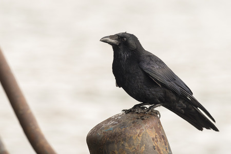carrion: Carrion Crow (Corvus corone) standing on a Bollard in a Harbour