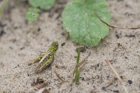 maculatus: Mottled Grasshopper (Myrmeleotettix maculatus) resting on sand Stock Photo