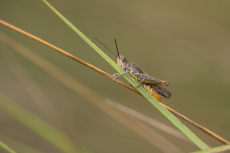 chorthippus: Common Field Grasshopper (Chorthippus brunneus) resting on a Grass-Stalk Stock Photo