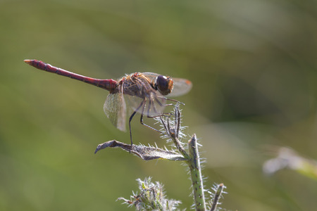 vagrant: Vagrant Darter (Sympetrum vulgatum) male resting on top of a plant