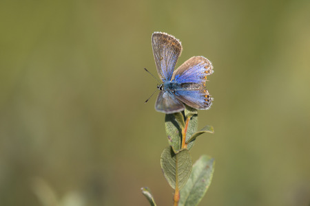 icarus: Common Blue (Polyommatus icarus) resting on top of a Shrub Stock Photo