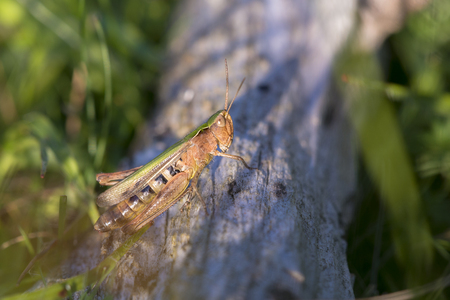 chorthippus: Bow-winged Grasshopper (Chorthippus biguttulus) resting on a log on the ground