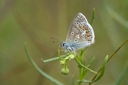 icarus: Common Blue (Polyommatus icarus) butterfly male resting on a plant
