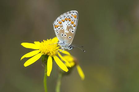 senecio: Brown Argus (Aricia agestis) butterfly resting on Narrow-leaved Ragwort (Senecio inaequidens)