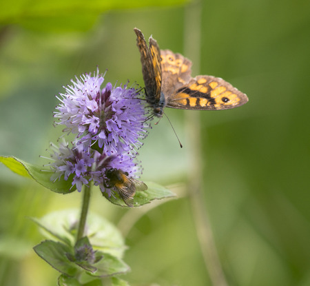 water wings: Wall Brown (Lasiommata megera) butterfly extracting nectar from Water Mint (Mentha aquatica) with open Wings Stock Photo