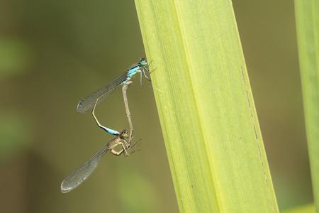 copulate: Blue-tailed Damselfly (Ischnura elegans) mating wheel resting on a leaf