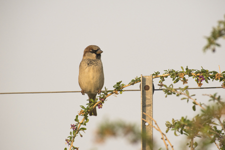passer by: House Sparrow (Passer domesticus) male perched on a Wire