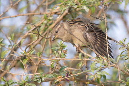 domesticus: House Sparrow (Passer domesticus) female perched on a Branch of a Shrub stretching a Wing Stock Photo