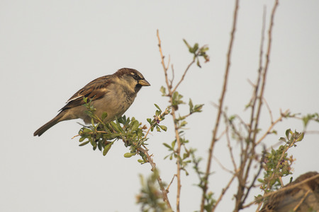 domesticus: House Sparrow (Passer domesticus) male perched on a Branch of a Shrub
