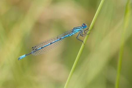 odonata: Azure Bluet (Coenagrion puella) male resting on a Grass-Stalk
