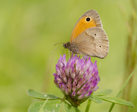 red clover: Meadow Brown (Maniola jurtina) extracting nectar from Red Clover (Trifolium pratense)