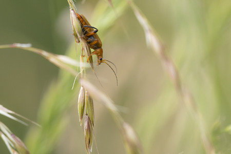 cantharis: Soldier Beetle (Cantharis livida) resting on a Grass-Stalk Stock Photo