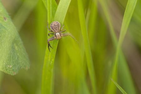 crab spider: Common Crab Spider (Xysticus cristatus) resting on a Grass-Stalk