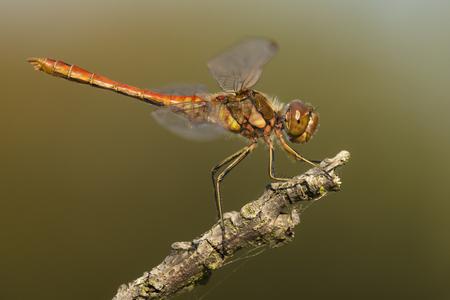 vulgatum: Vagrant Darter (Sympetrum vulgatum) male resting on a dead Branch Stock Photo