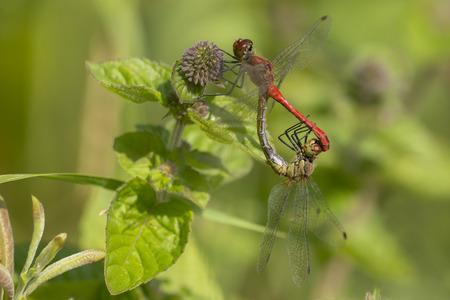 copulate: Ruddy Darter (Sympetrum sanguineum) Mating Wheel resting on a Water Mint (Mentha aquatica)