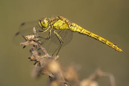 vulgatum: Vagrant Darter (Sympetrum vulgatum) female resting on a Twig
