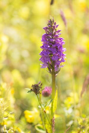 protected plant: Leopard Marsh Orchid (Dactylorhiza majalis subsp. Praetermissa var. Junialis) photographed in backlight