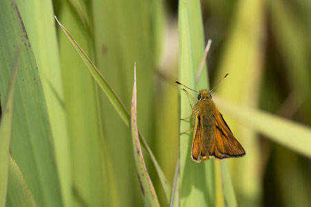 ochlodes: Large Skipper (Ochlodes sylvana) butterfly resting on a Leaf of Yellow Iris (Iris pseudacorus) Stock Photo