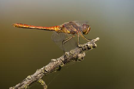 vulgatum: Vagrant Darter (Sympetrum vulgatum) male resting on a Dead Branch