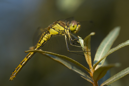 vulgatum: Vagrant Darter (Sympetrum vulgatum) fresh female resting on a Shrub