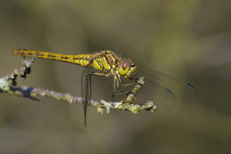 vulgatum: Vagrant Darter (Sympetrum vulgatum) fresh female resting on a Dead Branch Stock Photo