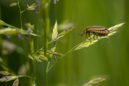 cantharis: Soldier Beetle (Cantharis livida) climbing on a Grass-Stalk