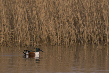 northern shoveler duck: Northern Shoveler (Anas clypeata) duck male swimming alongside Reed in a Lake