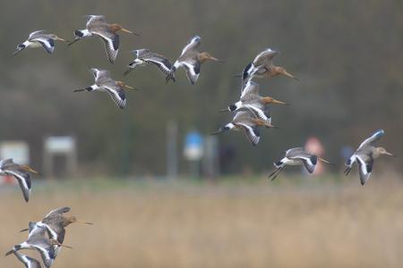 leidschendam: Black-tailed Godwit (Limosa limosa) in flight in Nature Reserve Starrevaart at Leidschendam, the Netherlands