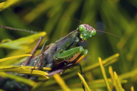 Praying Mantis mit Tropfen von Wasser, die wie Tränen Lizenzfreie Bilder
