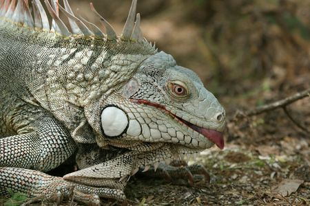 insensitive: Iguana showing a tongue.
