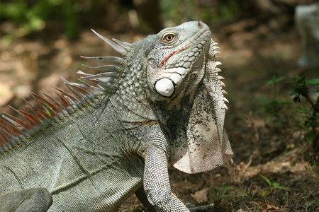 imperturbable: Side-view of iguana shot with a shallow DOF Stock Photo