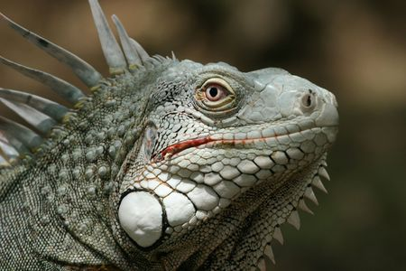 imperturbable: A weird but attractive reptile Stock Photo