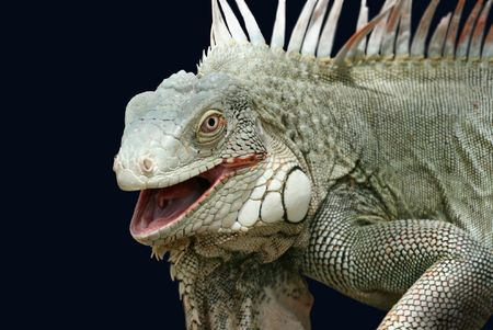 unruffled: Iguana isolated on black. Working path is included.