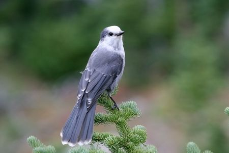 A gray jay sitting on the top of a tree Standard-Bild