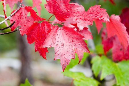 Regentropfen auf roten und grünen foilage  Lizenzfreie Bilder