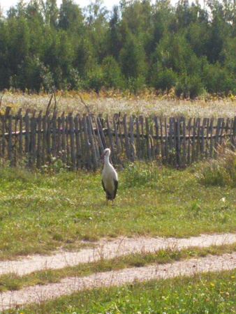 A stork is walking by itself. A picturesque photo of a stork walking through the village. A picturesque rustic landscape. Original retro image of a big bird.