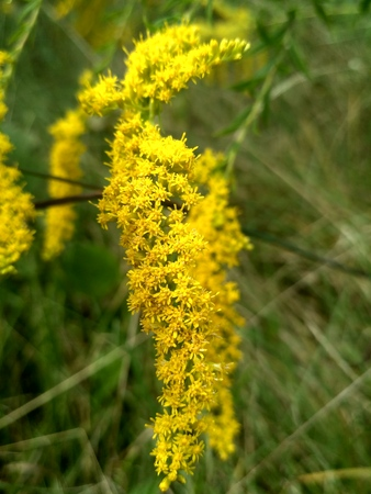 Aromatic herb goldenrod and bee. Honey grass. Yellow bright honey grass. Rural scenic landscape. Steppe vegetation. Foto de archivo