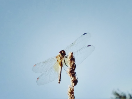 Elegant dragonfly on a wheat spike among a clear blue sky. Minimalistic original macro image of a dragonfly. Picturesque photos of beautiful insects Foto de archivo