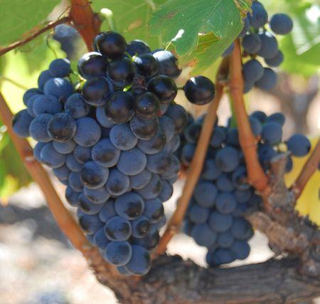 ferment: Grenache winegrape