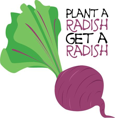 addition: This brightly colored radish is a great addition to your dinner salad and a perfect addition to your kitchen d?cor.