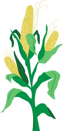 corn stalk: Corn Illustration